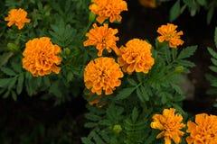 许多美丽的万寿菊在庭院里开花 库存图片