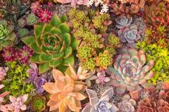 许多美丽的多汁植物 免版税图库摄影