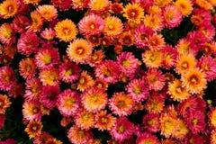许多美丽的小明亮的橙红花 库存照片