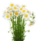 许多美丽的春黄菊花花束  库存照片