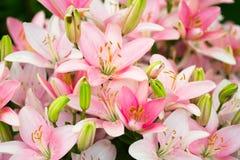 许多美丽的桃红色百合 免版税库存图片