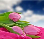 许多美丽的桃红色郁金香 库存照片