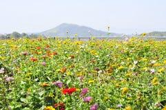 许多美丽的狂放的菊花花 库存图片
