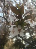 许多美丽的白色小花在早期的春天 库存图片
