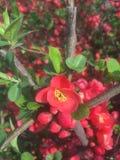 许多美丽的红色小花在早期的春天 库存图片
