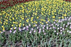 许多美丽的红色,黄色和桃红色郁金香在花园里 库存照片