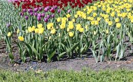 许多美丽的红色,黄色和桃红色郁金香在花园里 库存图片
