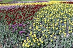 许多美丽的红色,黄色和桃红色郁金香在花园里 图库摄影