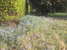 许多美丽的蓝色小花在早期的春天 免版税库存照片