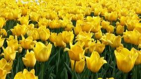 许多美丽的黄色郁金香在花圃里 库存图片