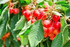 许多美丽的更加多雨的樱桃莓果发光的束 库存图片