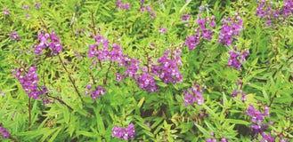 许多美丽紫色,紫罗兰或者Angelonia在庭园花木中开花开花 免版税库存图片