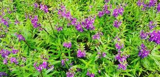 许多美丽紫色,紫罗兰或者Angelonia在庭园花木中开花开花 库存图片