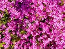 许多美好的桃红色开花背景/墙纸 免版税图库摄影