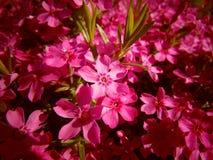 许多美好的桃红色开花背景/墙纸 库存照片