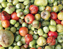 许多腐烂的蕃茄 库存照片