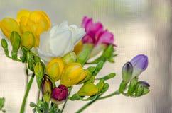 许多色的花束小苍兰开花,窗口bokeh背景 免版税库存图片
