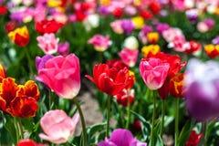 许多色的郁金香的领域在模糊的背景的 免版税库存照片