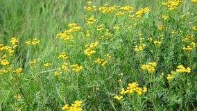 许多艾菊在草甸在夏天 股票录像