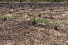 许多荡桨砍伐森林造成的老树桩并且烧 库存照片