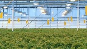 许多莴苣植物被安置在光下在温室 4K 股票视频