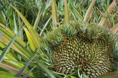 许多菠萝头在一棵植物中 库存图片