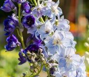 许多蓝色和紫色翠雀hybridum花Raceme  库存图片