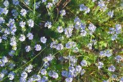 许多蓝色圆的野花 免版税库存照片