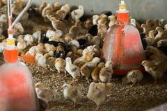 许多蓬松小多彩多姿的小鸡 库存图片