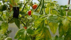 许多蕃茄自温室增长 影视素材