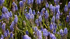 许多蜂和美丽的风信花在庭院里开花开花 股票录像