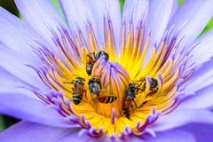 许多蜂从莲花花粉收集花蜜 免版税图库摄影