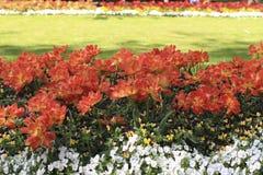 许多透露了在花圃的橙红郁金香 免版税库存照片