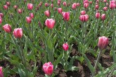 许多郁金香的明亮的桃红色花和芽 库存图片