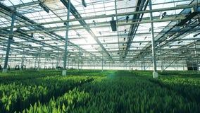 许多郁金香花自温室在行耕种了,增长 股票视频