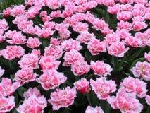 许多郁金香花,水平白色和桃红色 库存图片