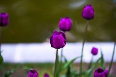 许多郁金香蓝色金刚石在春天庭院 宏指令,选择聚焦,被定调子的图象 免版税库存图片