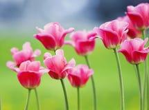 许多郁金香bloomi的美丽的明亮的桃红色花和芽 图库摄影