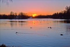 许多野鸭在一个大池塘游泳在美好的日落背景的晚上 免版税库存图片
