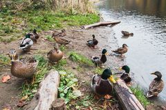 许多野鸭在湖岸走 库存图片