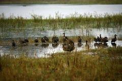 许多面无血色的吹哨的鸭子群  免版税图库摄影
