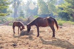 许多马为早晨干草饿 库存图片