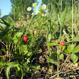 许多鲜美莓生长特写镜头视图 免版税图库摄影
