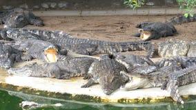 许多鳄鱼在绿色附近水说谎 泥泞的沼泽的河 泰国 聚会所 股票录像