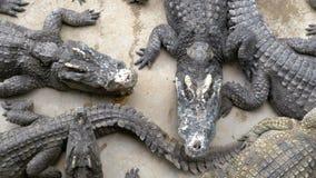许多鳄鱼顶视图在地面上说谎 也能鳄鱼种田被找出的pattaya显示泰国手表您的鳄鱼 泰国 聚会所 股票视频