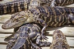 许多鳄鱼鳄鱼说谎 免版税库存图片