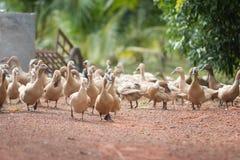 许多鸭子在农场 库存照片