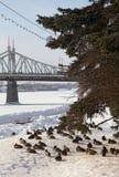 许多鸭子在河附近的冬天 布朗和灰色 库存图片