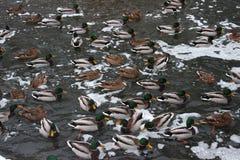 许多鸭子在湖 Winter湖,雪 在猪纵向时间白色的背景滑稽的几内亚午餐 秋天 库存照片