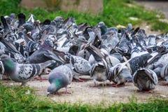 许多鸽子 免版税库存照片